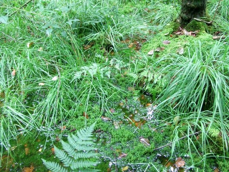 Torfmoose sind bestandbildend in Heidemooren. Sie bilden im Wesentlichen den Torfkörper und speichern das 20fache ihres Eigengewichts an Wasser