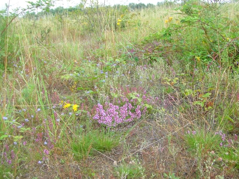 Vielfalt von allein gewachsen: blaues Berg-Sandglöckchen, gelbes Tüpfel-Johanniskraut, violetter Arznei-Thymian, silbernes Zwergfilzkraut und mehr