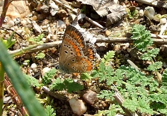 Neue Schmetterlingsart in der Dellbrücker Heide