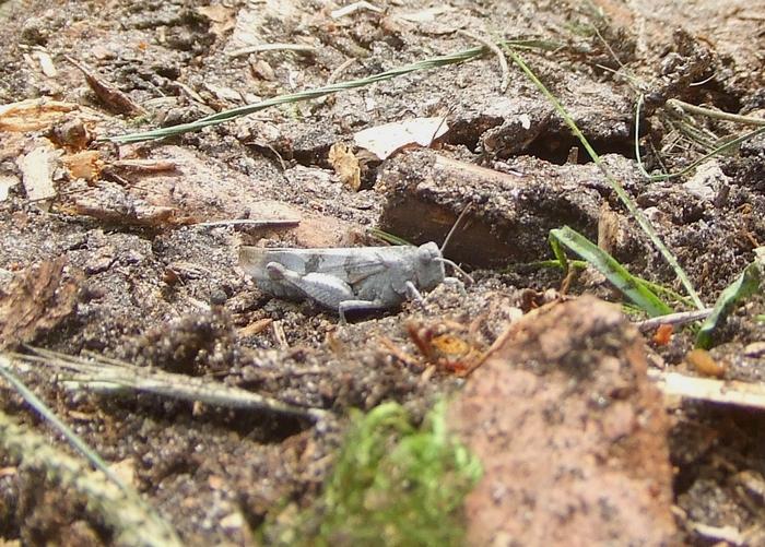 Blauflügelige Ödlandschrecke im Königsforst