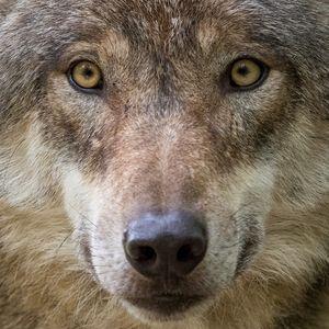 Portrait eines Wolfs