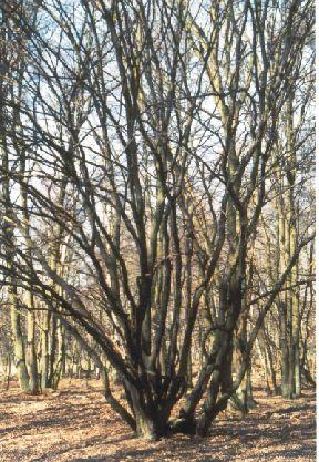 Strauchartige Baumformen zeugen noch heute von der traditionellen Niederwaldwirtschaft