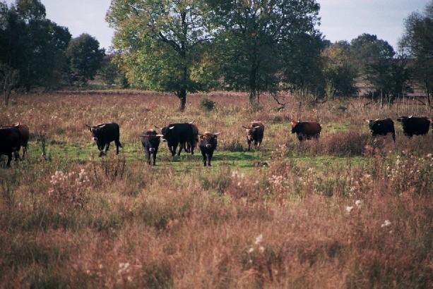 Bei Beweidungsprojekten wird mit robusten Hausrinderrassen versucht, den ausgerotteten Auerochsen als Landschaftsgestalter zu ersetzen.
