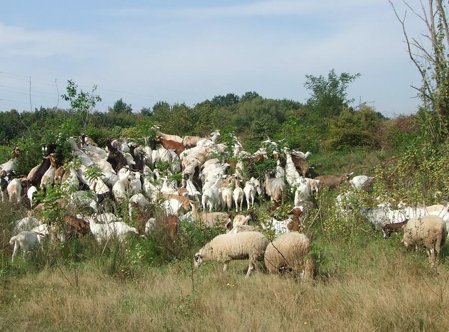 Ziegen und Schafe stellen heute aus Naturschutzgründen den Einfluss ausgestorbener wilder Pflanzenfresser auf der Heideterrasse nach