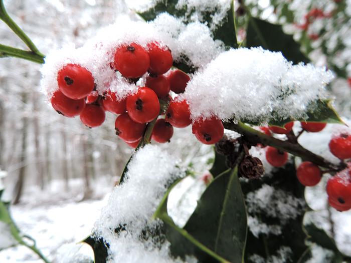 Ilex im Schnee
