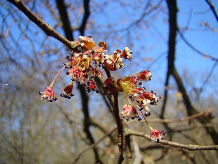 Blüte der Flatterulme