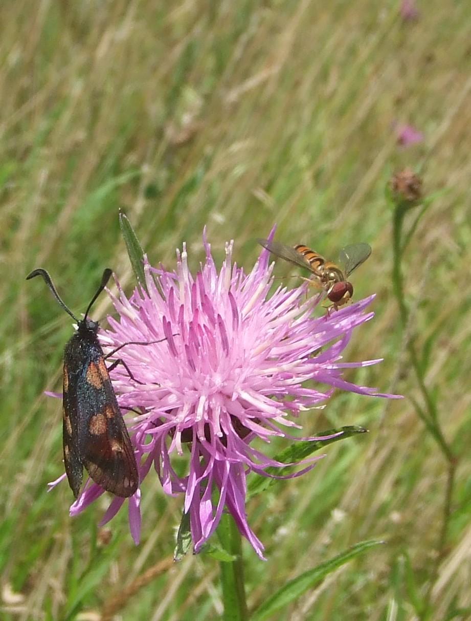 Blutströpfchen und Schwebfliege laben sich an Wiesen-Flockenblume auf den Hasbacher Wiesen