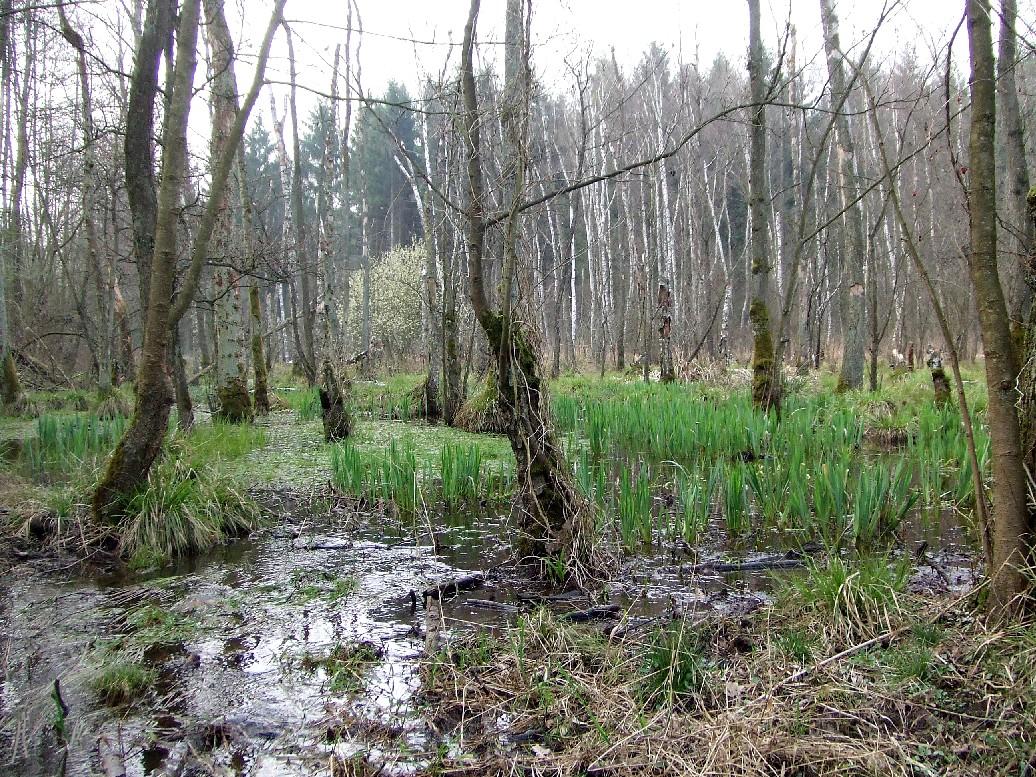 Iris-Erlenbruch in der Sandbacher Heide