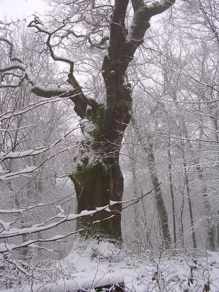1000jährige Eiche im Schnee