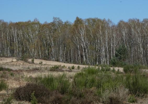 Binnendünen und Birkenvorwälder