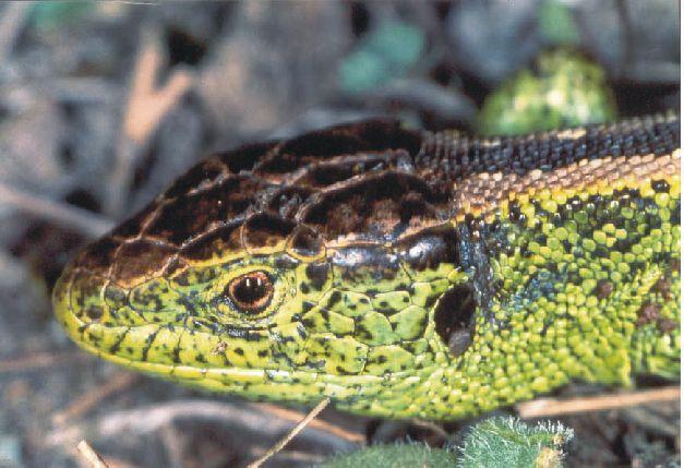 Portrait einer männlichen Zauneidechse