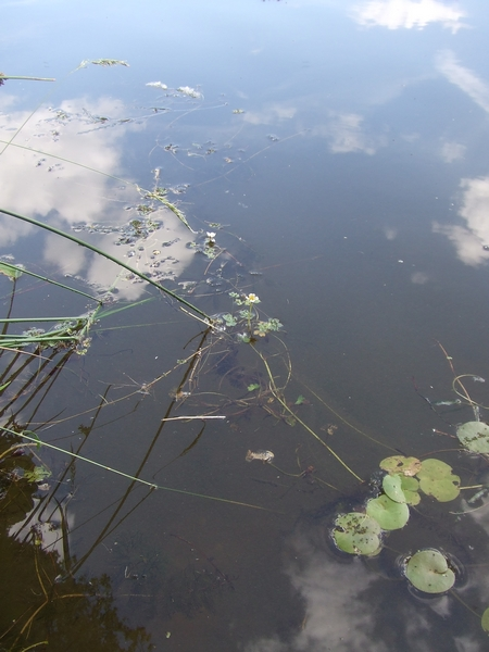 Wasser-Hahnenfuss neben Froschbiss
