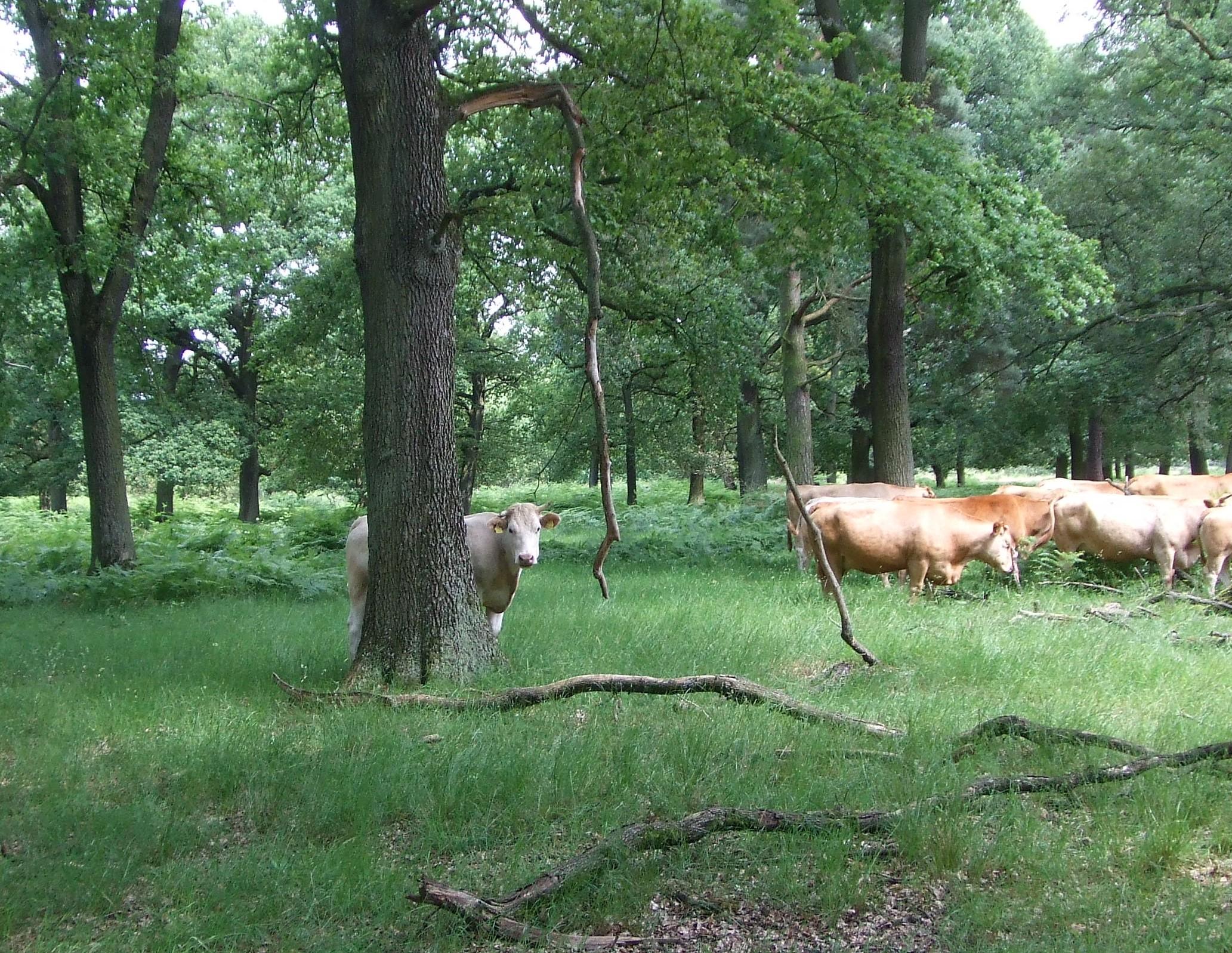 Rinder im Hudewald